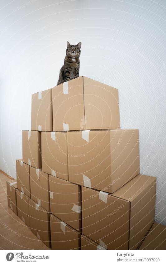 Katze sitzt auf gestapelten Pappkartons Faltschachtel Stapel Sitzen hoch oben neugierig Kasten Tabby Hauskatze im Innenbereich spielerisch