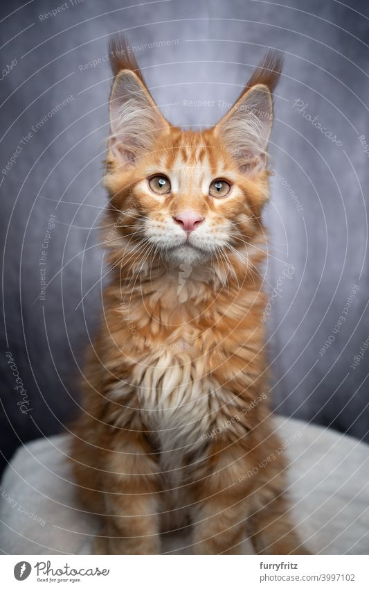 rot orange ingwer maine coon Kätzchen Porträt Katze maine coon katze Langhaarige Katze Rassekatze Haustiere Katzenbaby fluffig Fell katzenhaft Ingwer-Katze grau