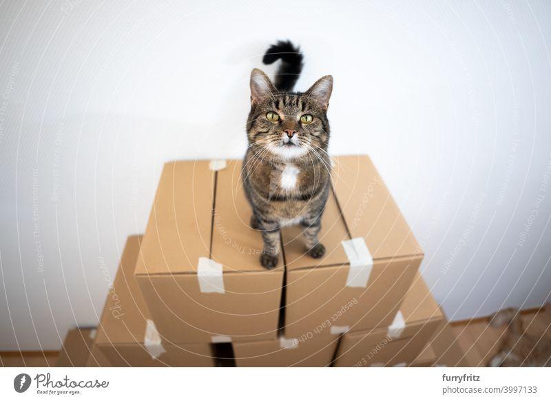 Katze stehend auf gestapelten Kartons Faltschachtel Stapel Sitzen hoch oben neugierig Kasten Tabby Hauskatze im Innenbereich spielerisch