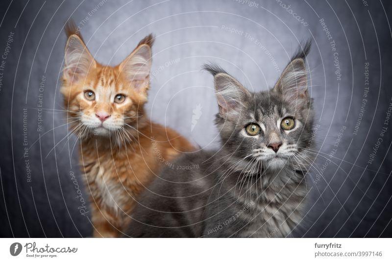 zwei verschiedene farbige maine coon Kätzchen nebeneinander auf grauem Beton Hintergrund mit Kopie Raum Katze maine coon katze Langhaarige Katze Rassekatze