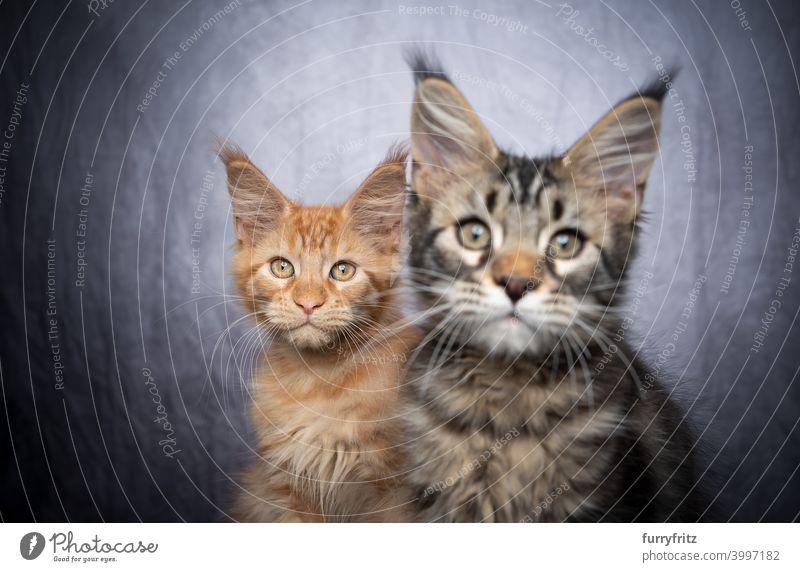 zwei verschiedenfarbige Maine Coon Kätzchen nebeneinander Katze maine coon katze Langhaarige Katze Rassekatze Haustiere Katzenbaby fluffig Fell katzenhaft