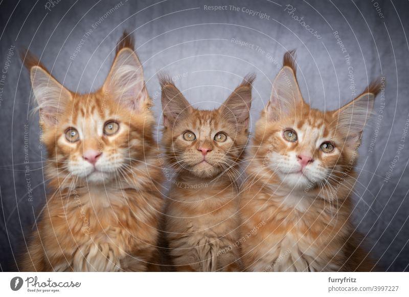 Gruppe von drei Ingwer Maine Coon Kätzchen Seite an Seite Katze maine coon katze Langhaarige Katze Rassekatze Haustiere Katzenbaby fluffig Fell katzenhaft