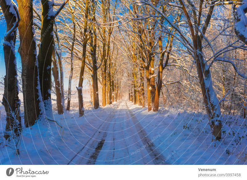 Waldweg im Winter mit Schnee, am Wegesrand große Eichen Schneise Wälder Baum Bäume Gras Ast Niederlassungen Natur Holzfällerei Holzwirtschaft Holzindustrie