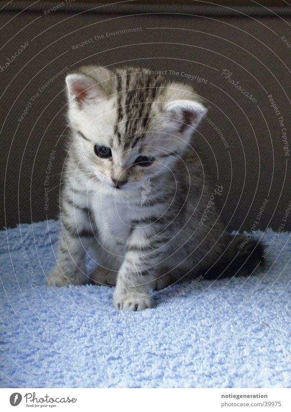 Kitten Katze