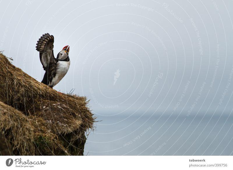 Wolf-Papageitaucher Luft Himmel Tier Wildtier Vogel Flügel 1 ästhetisch blau braun grau schwarz weiß Macht plustern weinen erhaben ausbreiten Farbfoto