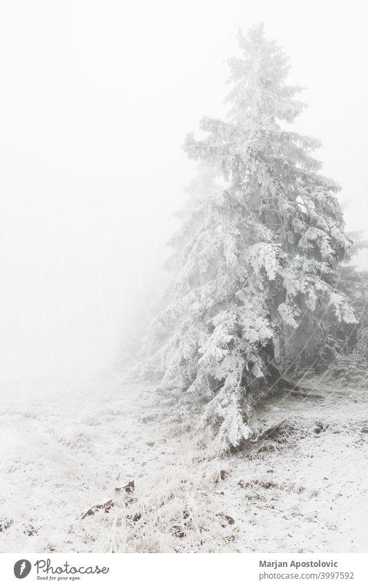 Verschneite Tannenbäume in den Bergen Abenteuer Hintergrund schön Cloud wolkig kalt bedeckt Umwelt Immergrün Nebel neblig Wald Frost gefroren Dunst Landschaft