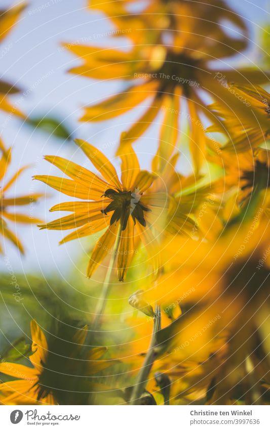 Gelber Sonnenhut / Rudbeckia aus der Froschperspektive vor zartblauem Himmel gelber Sonnenhut Nahaufnahme verschwommen Blume Blüte Pflanze Natur