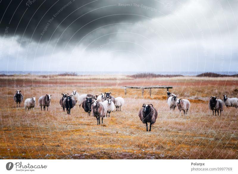 Ziegenherde bei bewölktem Wetter am Meer Schwarm Saison Land Regen heimisch Säugetier Fell schön weiden Highlands Umwelt Wildnis Tag wild ländlich Landschaft