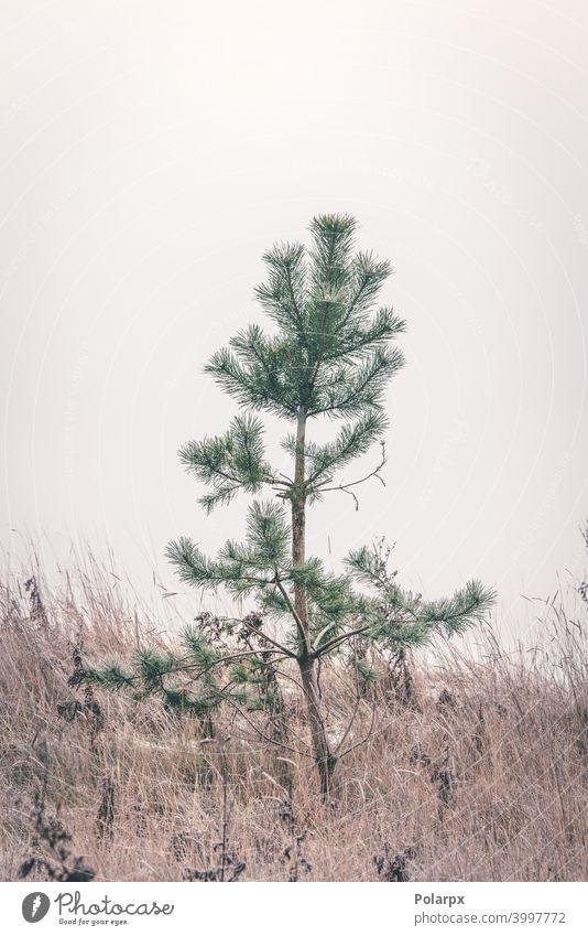 Kleine Kiefer steht allein im gefrorenen Gras klein matt Schönheit Samen Winterlandschaft kleine Kiefer skandinavisch Herbst sehr wenige Dekor Ruhe
