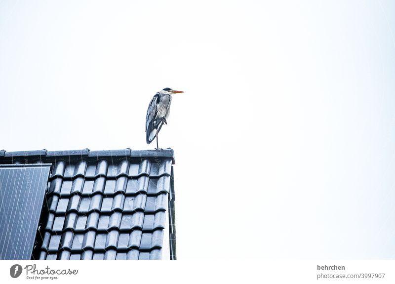 und, gibts heute fisch? Dach Vogel Fischreiher Graureiher Reiher beobachten auf der Lauer Federn hübsch Farbfoto Tier Wildtier Außenaufnahme Natur Tierporträt