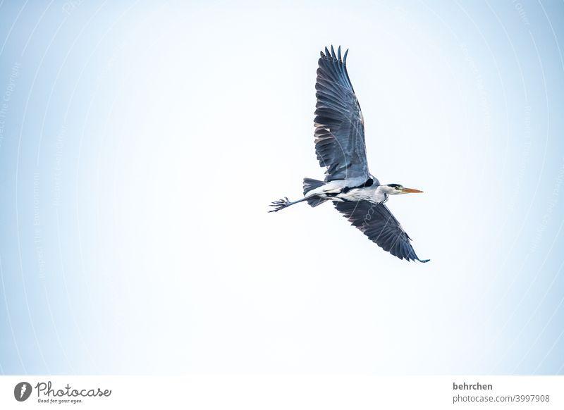 wo isser denn nu? Flügel Schnabel Himmel oben Umwelt grau Tierporträt Natur Außenaufnahme Wildtier Farbfoto hübsch Federn auf der Lauer beobachten Reiher