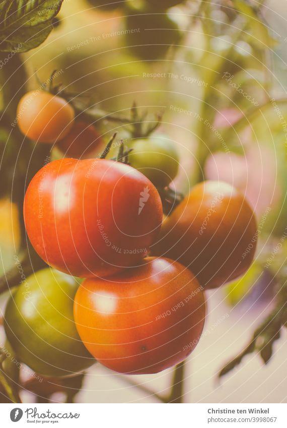 Die eigenen Tomaten sind fast reif Tomatenpflanze gemüse Lebensmittel gesund lecker rot eigener Anbau Vegetarische Ernährung Gesunde Ernährung Gemüse frisch