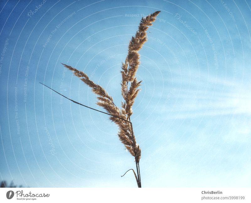 Schilf am blauen Himmel Schilfrohr Natur Farbfoto Außenaufnahme Pflanze Tag Schönes Wetter Landschaft Umwelt Wolken Sonnenlicht