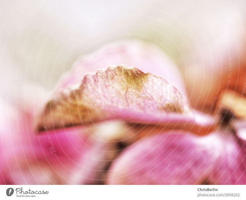 Rosa Blüte Makroaufnahme Blütenblatt Blume Pflanze Natur Detailaufnahme Farbfoto Schwache Tiefenschärfe rosa Herbst morbid