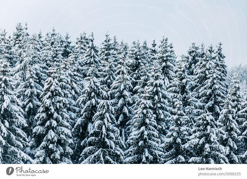 Winterlicher Nadelwald Schnee Bäume Dezember Januar kalt Frost Natur Eis Wetter frieren weiß Baum Landschaft Umwelt Winterwald Wald Kälte Winterlicht
