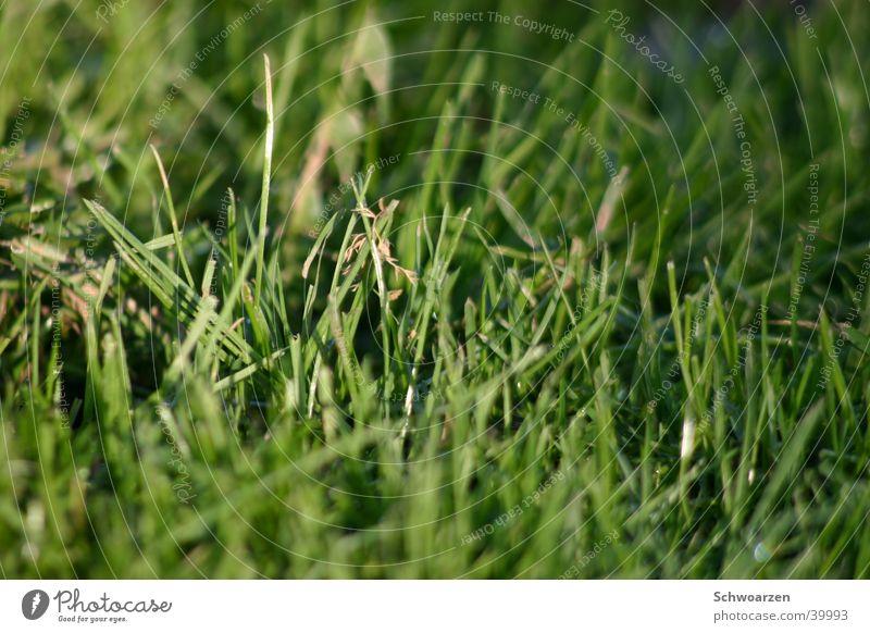 säftiger Rasen grün Sommer Wiese Gras frisch Rasen