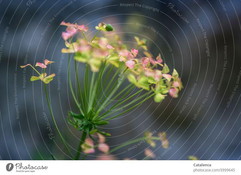 Eine Wildpflanze (Zypressen-Wolfsmilch) mit rosa-grünen Blütenblätter vor dunklem Hintergrund Natur Flora Pflanze wachsen gedeihen verblühen wild Sommer Tag