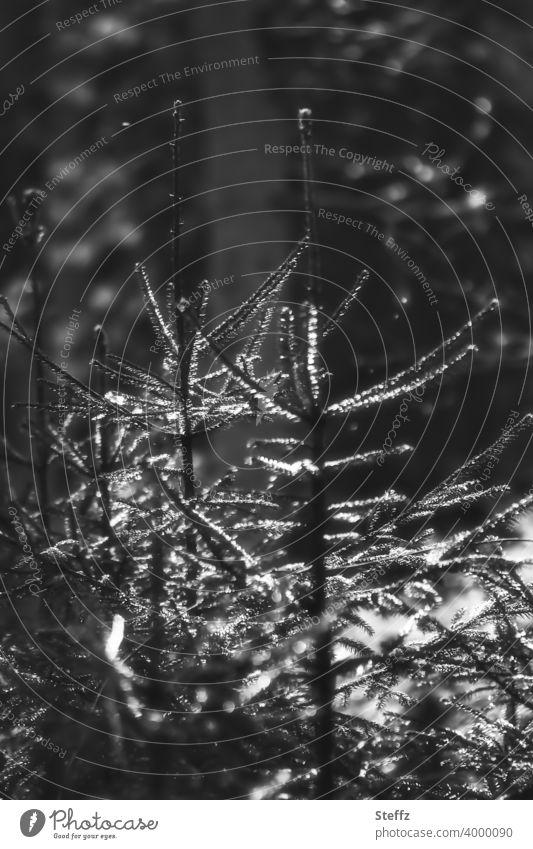 junge Fichten wachsen dicht beieinander Jungbäume Waldbäume Waldstimmung Vorfrühling März Licht und Schatten Licht und Schattenspiel dunkler Wald Stille im Wald
