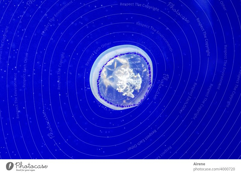 konform | mit ihrem Element Qualle leuchten Schwimmen & Baden blau Meerestier gallertartig Schweben Unterwasseraquarium Tiefsee schwimmen schweben Wasser