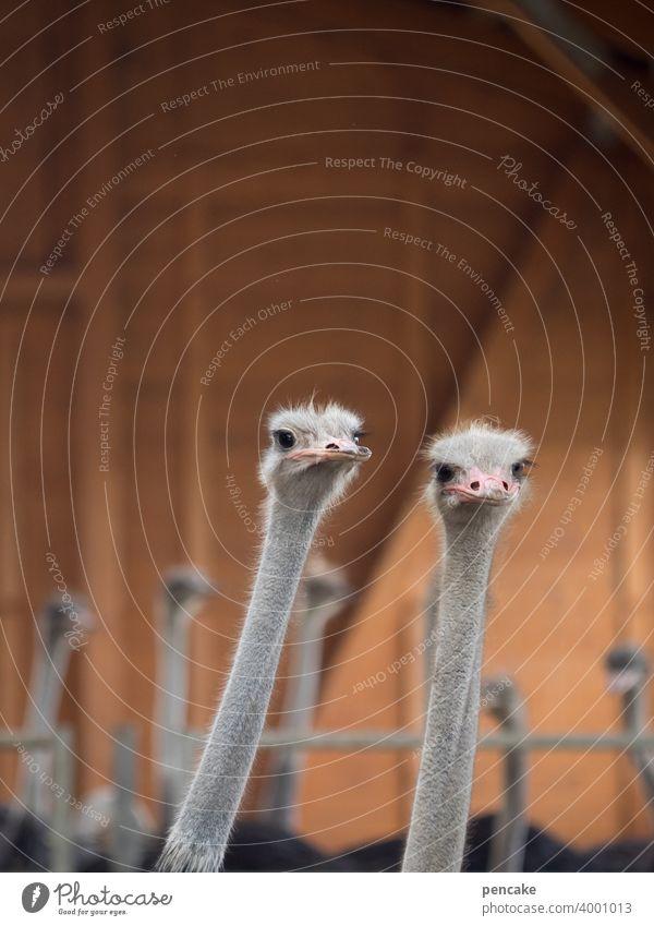 konform | beobachten Vogel Strauß zwei gemeinsam schauen Tierpark Tierfarm Straussenfarm Blick Tiergesicht Tierporträt Neugier