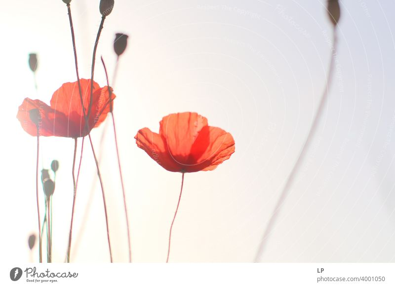 Mohnblumen in der Sonne Froschperspektive Low Key Sonnenstrahlen Sonnenlicht Lichterscheinung Kontrast Menschenleer Strukturen & Formen abstrakt Außenaufnahme