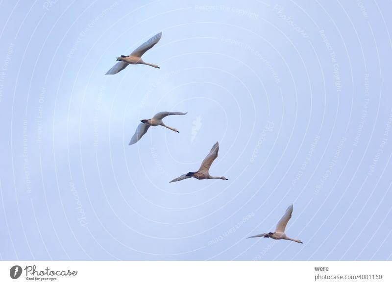 vier junge Schwäne fliegen in Formation am Himmel Tier Vogel bewölkter Himmel Textfreiraum elegant Federn Fliege in Formation fliegend Landschaft majestätisch
