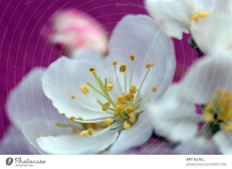 Apfelblüte apfelbaum apfelblüte samen apfelblütenzweig aufgeblüht weiß gelb grün
