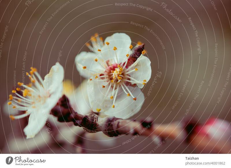 Blühende Kirschbäume im Frühling. Nahaufnahme Japan Blume Natur Saison Hintergrund Blüte Baum Weichheit abstrakt Gartenarbeit Japanisch März Blütenblatt Sakura