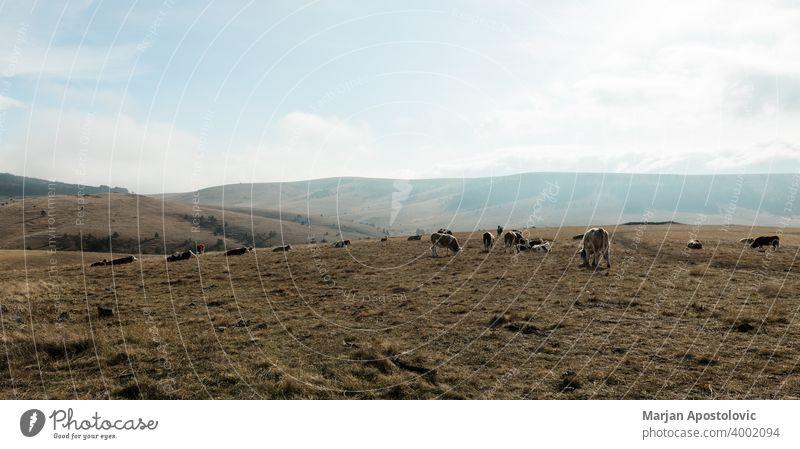 Kuhherde auf dem Berggipfel Tier Tiere Herbst schön Rind Land Landschaft Kühe Molkerei Tag heimisch Umwelt Europa Europäer Bauernhof Landwirtschaft Ackerland