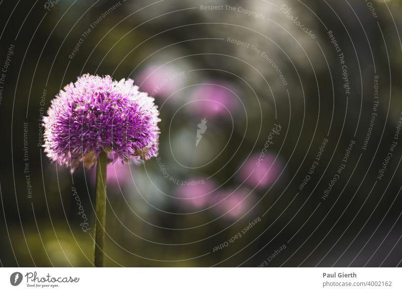 Makro von einer Lilanen Blüte Blume Frühling Pflanze Tiefenunschärfe Schwache Tiefenschärfe grün Farbfoto violett Garten Blühend