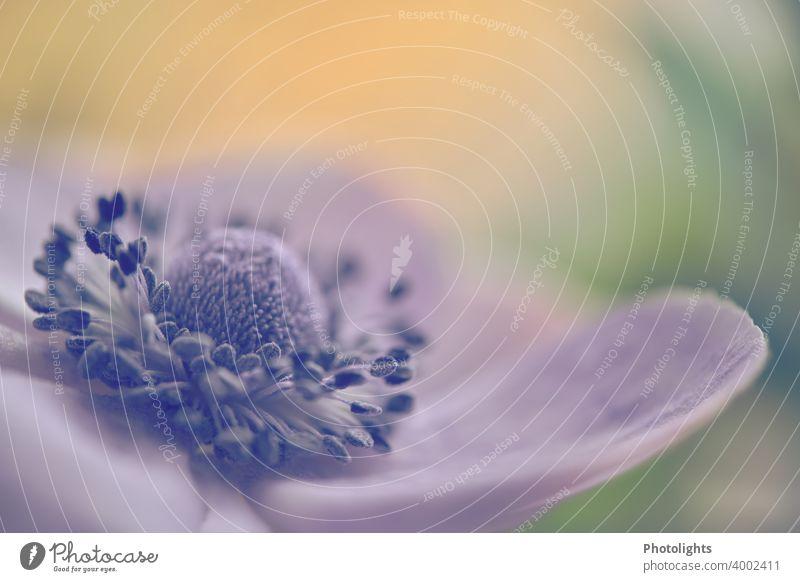 Blüte einer Anemone Makroaufnahme Blume Anemonen Pflanze Schwache Tiefenschärfe Frühling Blühend Nahaufnahme Natur Farbfoto Hintergrund neutral Außenaufnahme