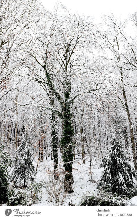 Baum mit Efeu im Schnee wald Natur Blatt Ast schnee Winter kalt weiß frost kälte Eis Wetter naturgefahr urlaub schneelast