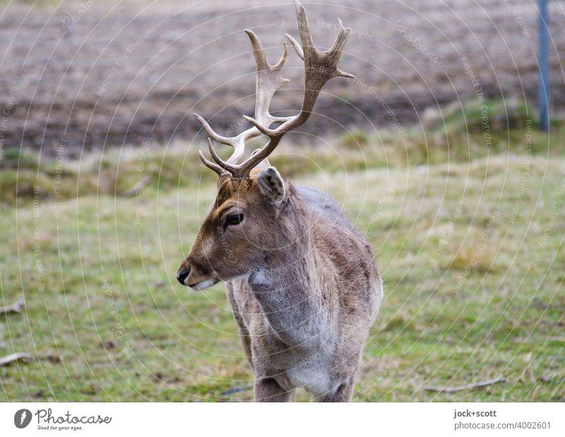 Rehbock auf grüner Wiese Wildtier Tierporträt authentisch Natur Säugetier Hirsche Horn