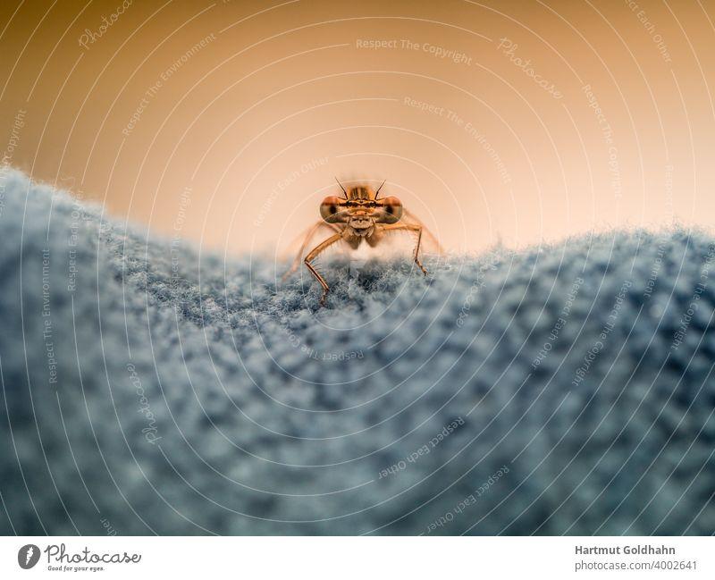 Nahaufnahme von einer gelben Libelle die auf einem Gewebe sitzt und mit ihren großen Augen direkt in die Kamera schaut. Angesicht augen Vorderansicht Stufe