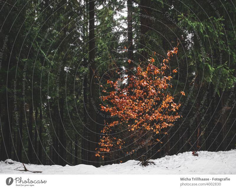 Farbtupfer im Winterwald Wald Schnee verschneit Bäume Baumstämme Tannen Farbklecks Kontraste Gegensätze Jahreszeiten Herbstlaub Blätter Laub Natur Landschaft