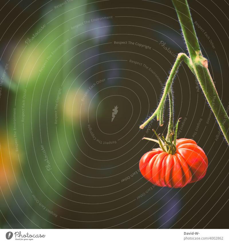 exotische Tomate an einer Tomatenpflanze Pflanze Tomatenplantage lecker gesund Gemüse anbau Bio Naturphänomene