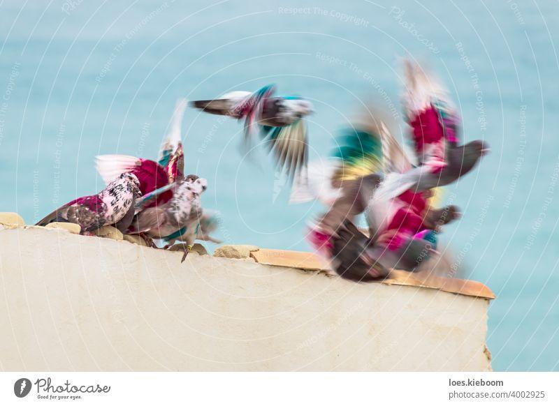 Gruppe von farbigen Posttauben bewegen und fliegen von einem Dach vor dem Meer, Altea, Costa Blanca, Spanien Brieftaube Taube Vogel Natur rosa Tier Frieden