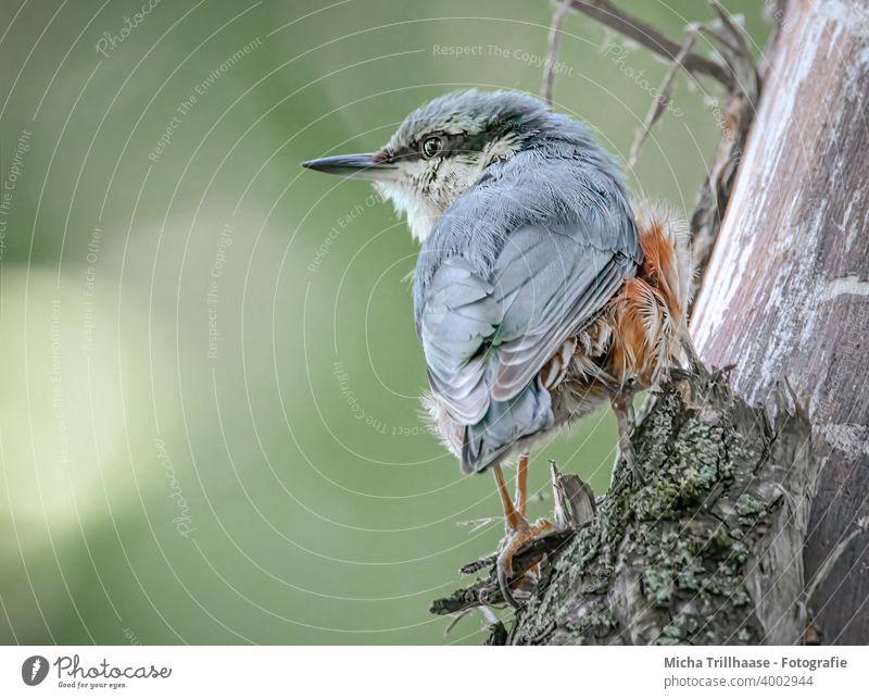 Kleiber beobachtet die Umgebung Sitta europaea Vogel Tier Wildtier Tiergesicht Kopf Schnabel Auge Flügel Feder gefiedert Krallen Blick beobachten natürlich nah