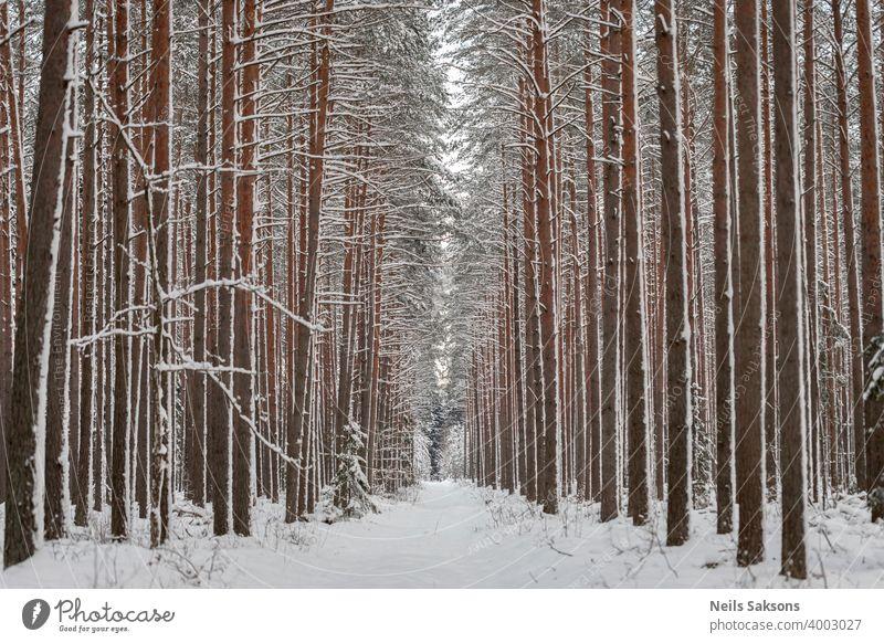 Perspektive in geraden vertikalen Linien mit Kiefern und Schnee gemalt Winter Wald Baum Natur kalt weiß Bäume Landschaft Birke Wälder Holz Frost Saison Park