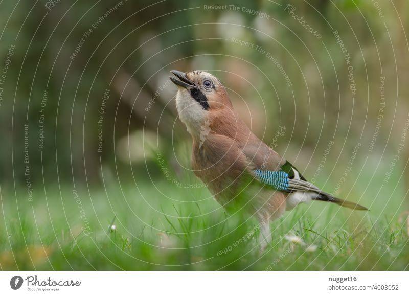 Eichelhäher auf der Wiese Vogel Tier Außenaufnahme Farbfoto Wildtier 1 Tag Natur Tierporträt Menschenleer Schwache Tiefenschärfe Umwelt Ganzkörperaufnahme
