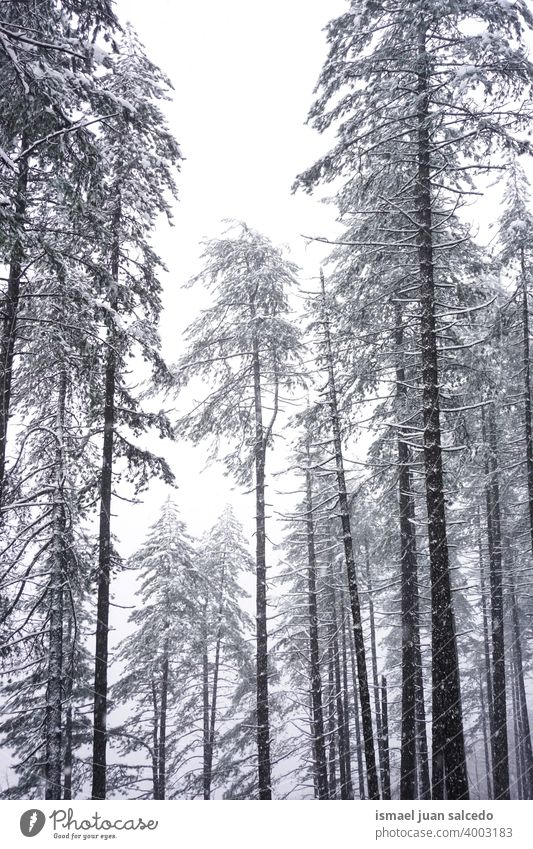 Schnee auf den Kiefern im Wald in der Wintersaison Bäume Schneefall Winterzeit kalt kalte Tage weiß Frost frostig gefroren Eis verschneite Schneeflocke Wetter
