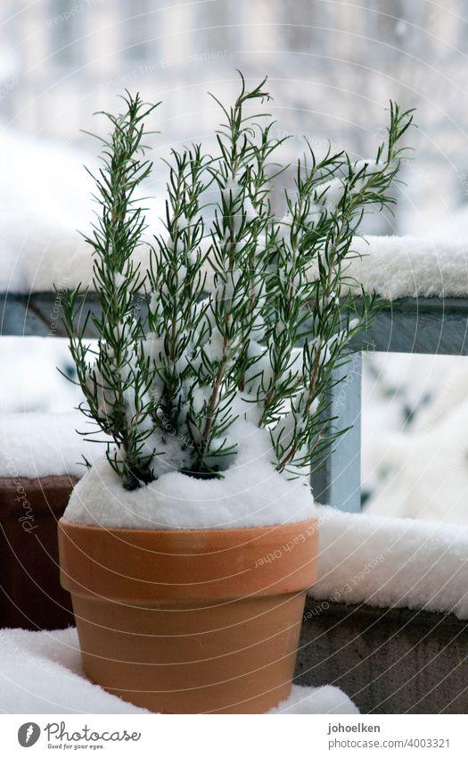 Schneebedeckter Rosmarin im Terrakottertopf Terrakotta Kräuter Balkon Winter Kälte Duft Kontrast Terrakotta-Töpfe Zweige schneebedeckt zu Hause Garten