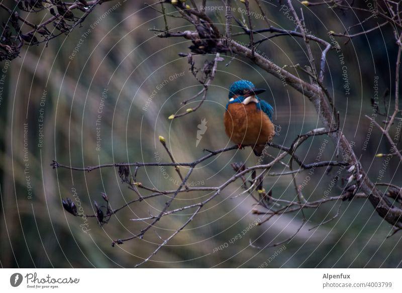 Frostkrähe von vorne Eisvogel Eisvögel Tierporträt Wildtier Farbfoto Vogel kingfisher Schnabel Baum Schwache Tiefenschärfe Freiheit Menschenleer Außenaufnahme