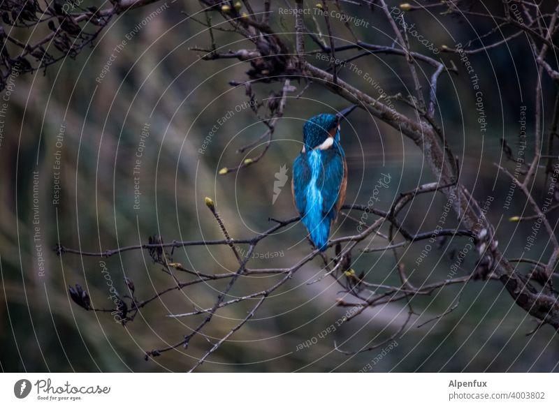 Frostkrähe von hinten Eisvogel Eisvögel Tierporträt Wildtier Farbfoto Vogel kingfisher Schnabel Baum Schwache Tiefenschärfe Freiheit Menschenleer Außenaufnahme