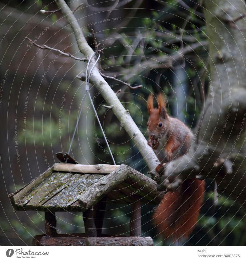 Frühstück Eichhörnchen Tier Natur niedlich Wildtier Nagetiere Baum Futter Futterhäuschen füttern Fütterung Garten Wald