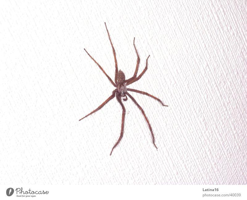Hausspinne weiß schwarz Tier Ekel 8 Spinne