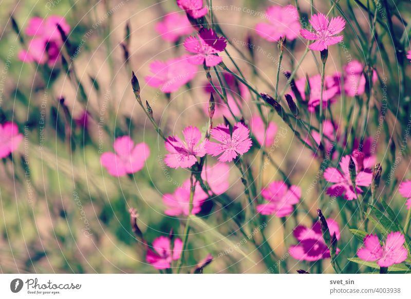 Maiden Pink oder Heidenelke oder Dianthus deltoides. Viele Maiden Pink blühende Knospen auf einer sonnigen Wiese an einem Sommertag. Viele rosa Wildblumen auf einer Sommerwiese. Floral rosa grünen sonnigen Tapete.