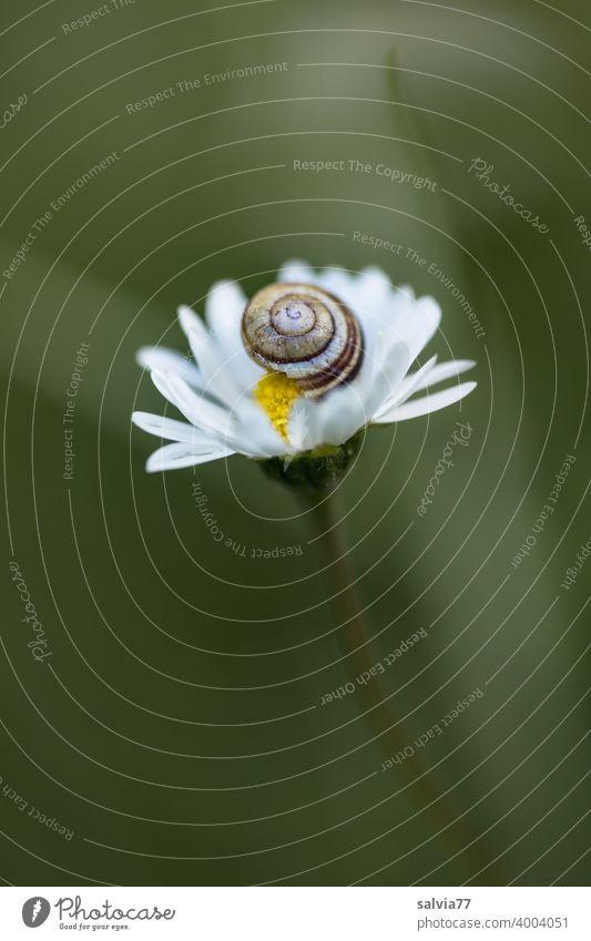 Gänseblümchen mit Schnecke Natur Pflanze Bellis klein Blüte Makroaufnahme Frühling Schwache Tiefenschärfe zart Geborgenheit Strukturen & Formen Spirale Schutz