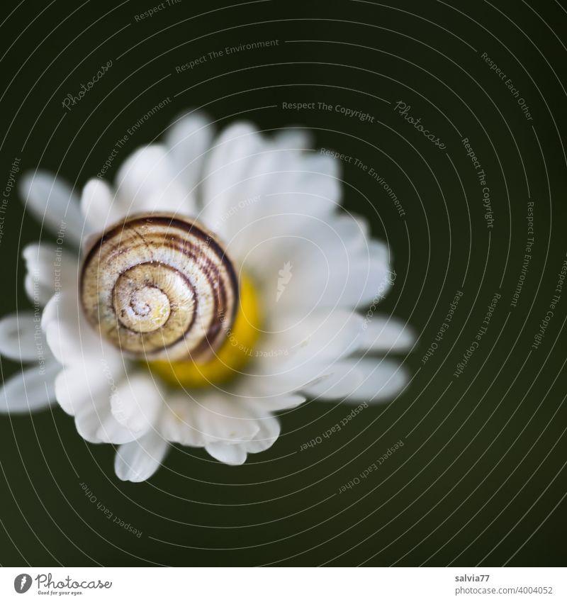 Schneckenhaus und Blümchen Natur Bellis Blüte Spirale Makroaufnahme Schwache Tiefenschärfe Strukturen & Formen Muster Hintergrund neutral Kontrast Schutz