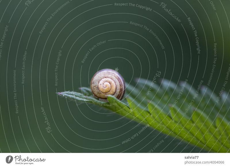 Naturformen Formen und Strukturen Strukturen & Formen Blatt Schneckenhaus rund Spirale gezahnt Kontrast grün Spitze klein Makroaufnahme Pflanze Symmetrie